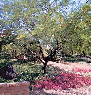 Chilean Mesquite Tree Horticulture Unlimited