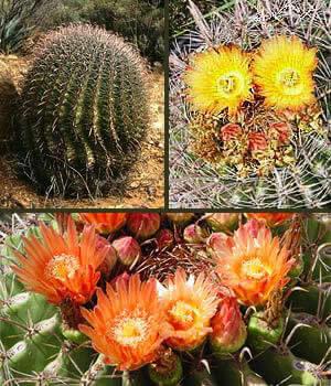 Fishhook Barrel Cactus Horticulture Unlimited