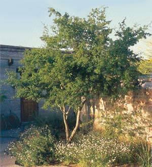 Texas Ebony Tree - Horticulture Unlimited