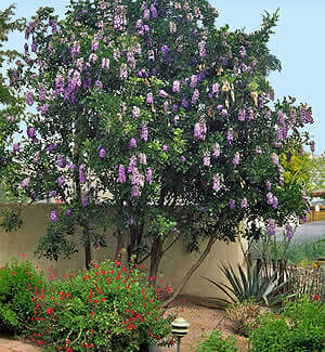 Texas Mountain Laurel Horticulture Unlimited