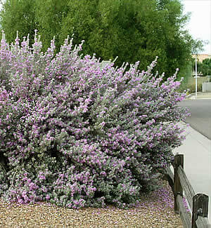 Texas Sage Horticulture Unlimited