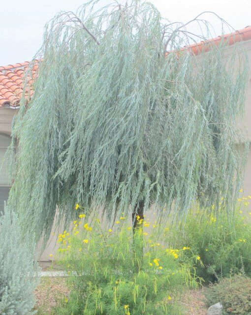 Acacia Pendula Weeping Myall 5 Horticulture Unlimited