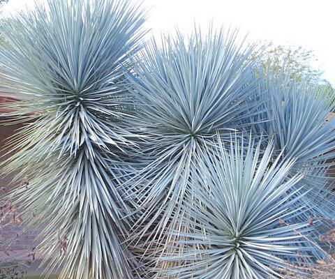 Dallas Water Company >> Blue Yucca is the December Plant of the Month! - Horticulture Unlimited