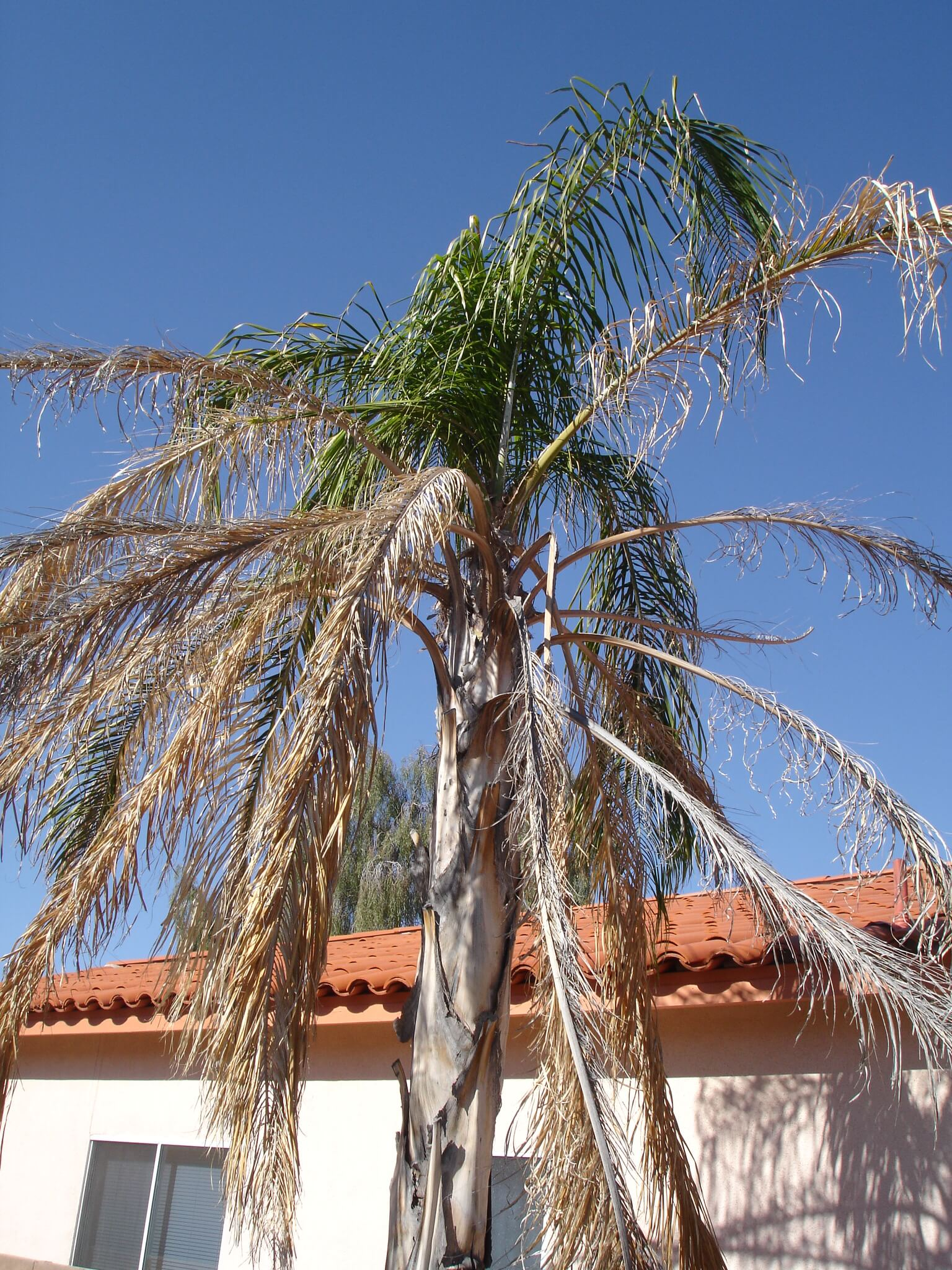 plate 18.1 - 17-1, Frost damage to a queen palm, new spring growth emerging