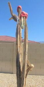 plate 18.3 - 17-3, Frozen Cereus peruviana cactus, winter of 2011