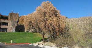 plate 18.4 - 17-4,Frozen Rhus lancea tree, frost of 2011