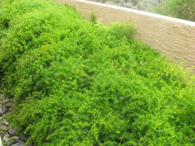 Asparagus Fern Horticulture Unlimited