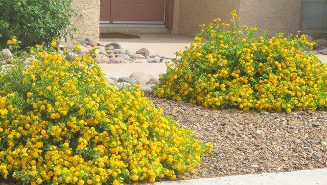 Bush Lantana Horticulture Unlimited