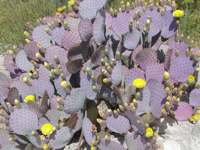 Santa Rita Prickly Pear - Horticulture Unlimited