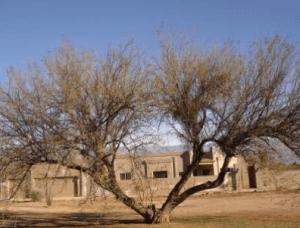 Mesquites infested with mistletoe parasite