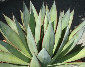 Blue Glow Agave Horticulture Unlimited