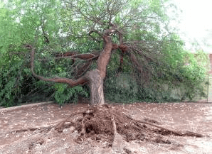 improperly pruned mesquite tree