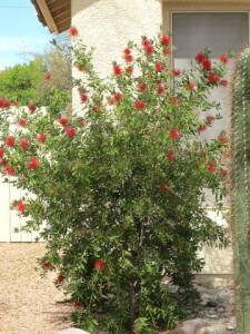Callistemon citrinus, Lemon Bottlebrush