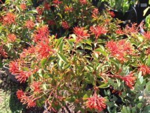 Hamilia patens. wrightii, Flame acanthus