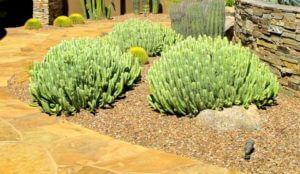 Euphorbia resinifera, Moroccan mound-002