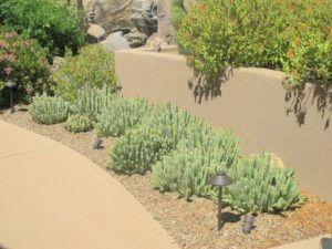 Euphorbia resinifera, Moroccan mound