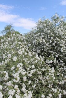 Cordia Parvifolia Is The Plant Of The Month
