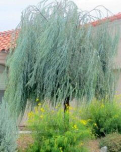 Acacia Pendula Is The Plant Of The Month Horticulture Unlimited