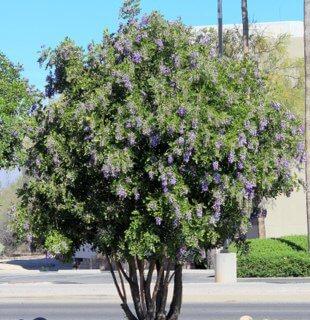 Dermatophyllum Secunfiflorum Texas Mountain Laurel Horticulture