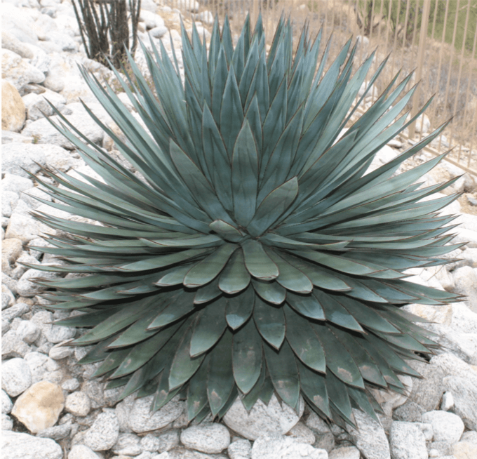 Agave Blue Glow Horticulture Unlimited